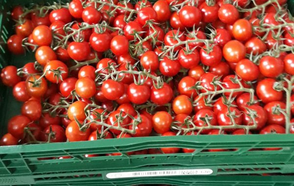 Rajčata z farmy Kožichovice